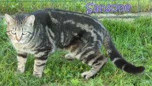 Ciao,io sono Sansone, un bel miciotto tigrato. Sono un fifone, non riesco ancora a fidarmi delle persone... Vado d'accordo con gli altri gatti e mi piace giocare.