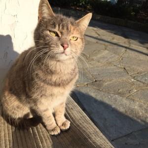 Domenica 16 settembre a Pino Torinese, in via San Felice all'incrocio  con via Folis, KITTY non è tornata a casa dopo il consueto giretto in  giardino. È una gattina di quattro anni e ha problemi di allergie  alimentari. Chi l'avesse vista può contattarmi al numero 335.8257030     GRAZIE!