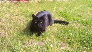 PERSEO, gatto maschio di 2 anni e mezzo, pelo corto nero, di circa 4 kg, sterilizzato. E' scomparso il 5/11/2018, nei pressi di via Gentilie (vicino alla pizzeria e il pub), zona Favari (Poirino). Senza collare né microchip. Chi dovesse riconoscerlo può contattare il numero 346/7370196.