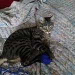 Tigre di Alessia
