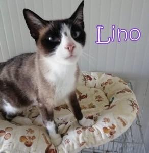 """Ciao a tutti mi chiamo Lino e sono un micio bellissimo! Adoro le coccole ed i grattini, sono stato ritrovato vagante e pieno di croste. Ma ora sono rinato! Ahime' sono positivo alla Fiv, ma posso vivere con mici sani! Non farti spaventare, sono solo un micio un po' piu' """"speciale""""!"""