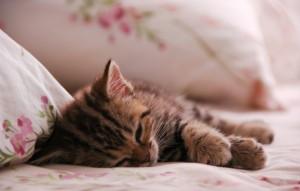 cat-animal-kitten-sleep-kot