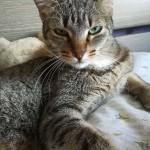 Ho smarrito questa gattina all'inizio di luglio in Moncalieri zona Testona... Si chiama Greta ha 4 anni sterilizzata abituata a stare in casa un po' diffidente con gli estranei... Vi chiedo cortesemente se avete notizie di contattarmi al 348 92 43737 grazie